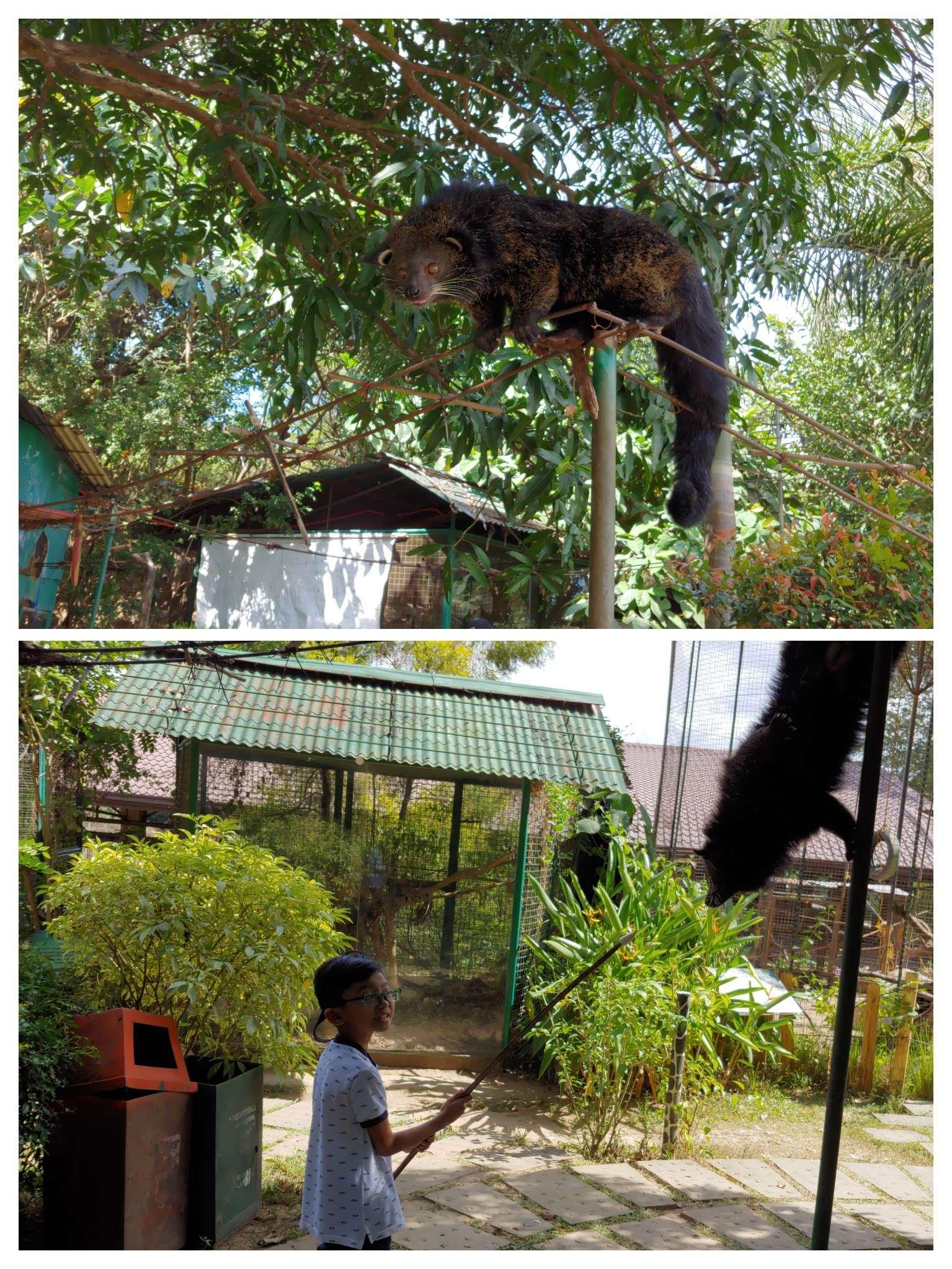 Zoocobia Bearcat feeding activity
